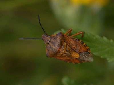 Carpocoris purpureipennis [Famille : Pentatomidae]