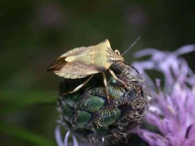 Carpocoris fuscispinus [Famille : Pentatomidae]