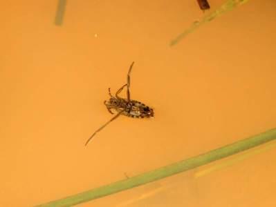 Notonecta glauca [Famille : Notonectidae]