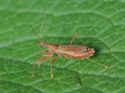 Nabis species [Famille : Nabidae]