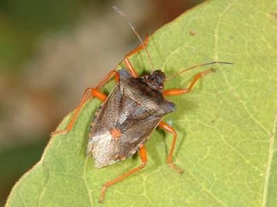 Pentatoma rufipes [Famille : Pentatomidae]