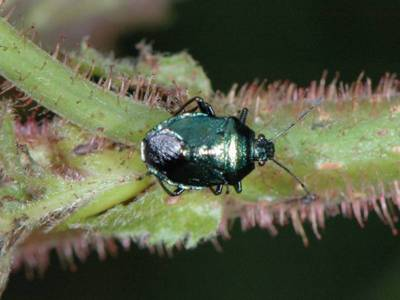 Zicrona caerulea [Famille : Pentatomidae]