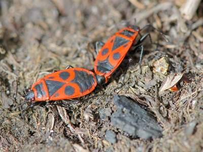 Pyrrhocoris apterus [Famille : Pyrrhocoridae]