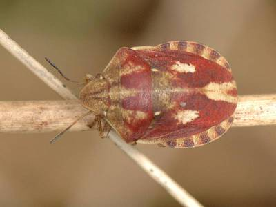 Eurygaster testudinaria [Famille : Scutelleridae]