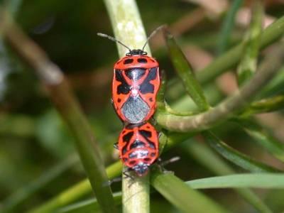 Eurydema dominula [Famille : Pentatomidae]