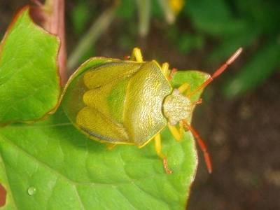 Piezodorus lituratus [Famille : Pentatomidae]