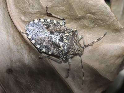 Rhaphigaster nebulosa [Famille : Pentatomidae]