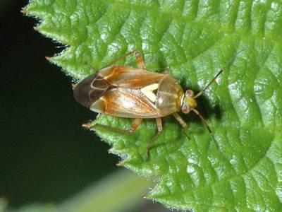 Lygus species [Famille : Miridae]