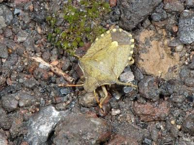 Holcostethus strictus vernalis [Famille : Pentatomidae]