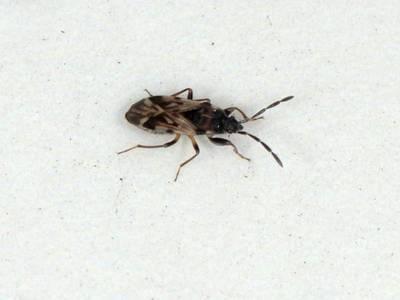 Scolopostethus decoratus [Famille : Lygaeidae]