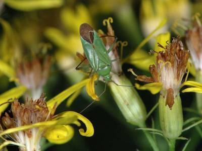 Calocoris affinis [Famille : Miridae]