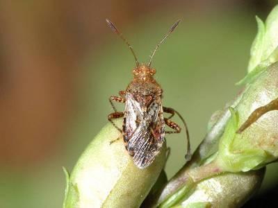 Rhopalus subrufus [Famille : Rhopalidae]