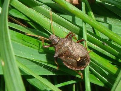 Picromerus bidens [Famille : Pentatomidae]