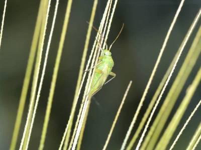 Closterotomus norwegicus [Famille : Miridae]