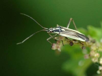 Leptopterna dolobrata [Famille : Miridae]