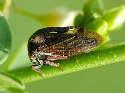 Centrotus cornutus [Famille : Membracoidea]