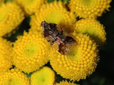 Cixius species [Famille : Fulgoroidea]