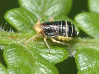 Ditropis pteridis [Famille : Delphacidae]