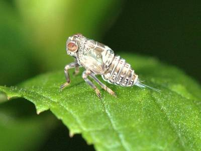 Issus coleoptratus [Famille : Fulgoroidea]