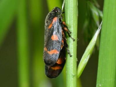 Cercopis intermedia [Famille : Cercopoidea]