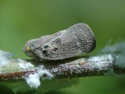 Metcalfa pruinosa [Famille : Flatidae]
