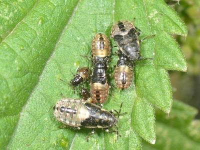 Heterogaster urticae [Famille : Lygaeidae]