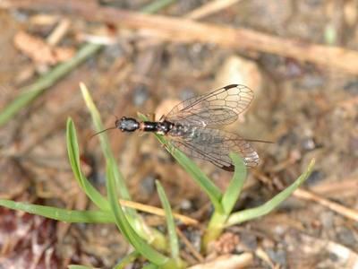 Raphidia species [Famille : Raphidiidae]