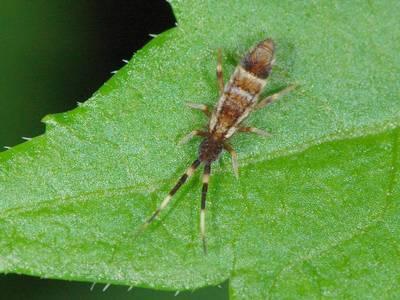 Orchesella flavescens var melanocephala [Famille : Orchesellinae]