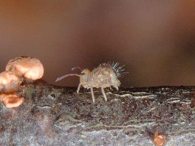 Dicyrtomina ornata [Famille : Dicyrtomidae]