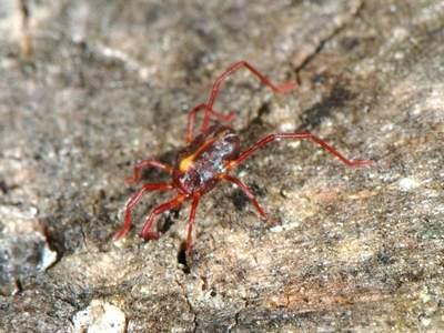Erythraeus phalangioides [Famille : Erythraeidae]