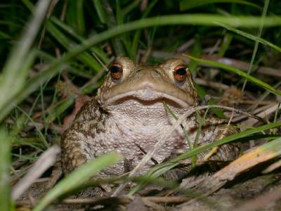 Bufo bufo [Famille : Bufonides]